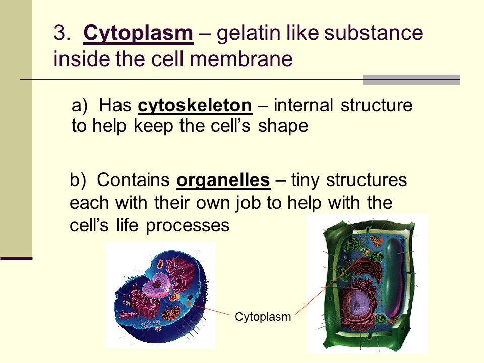 3. Cytoplasm – gelatin like substance inside the cell membrane