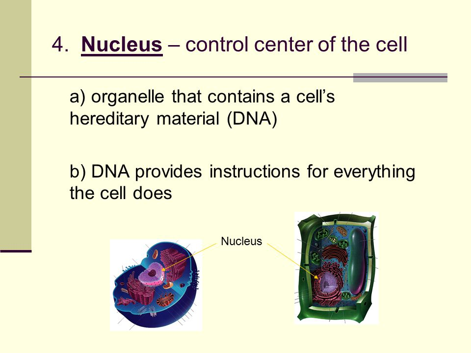 4. Nucleus – control center of the cell