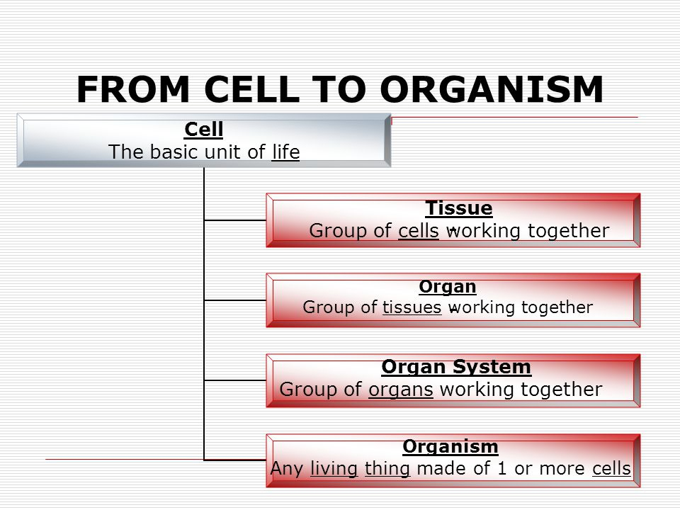 FROM CELL TO ORGANISM Tissue Group of cells working together