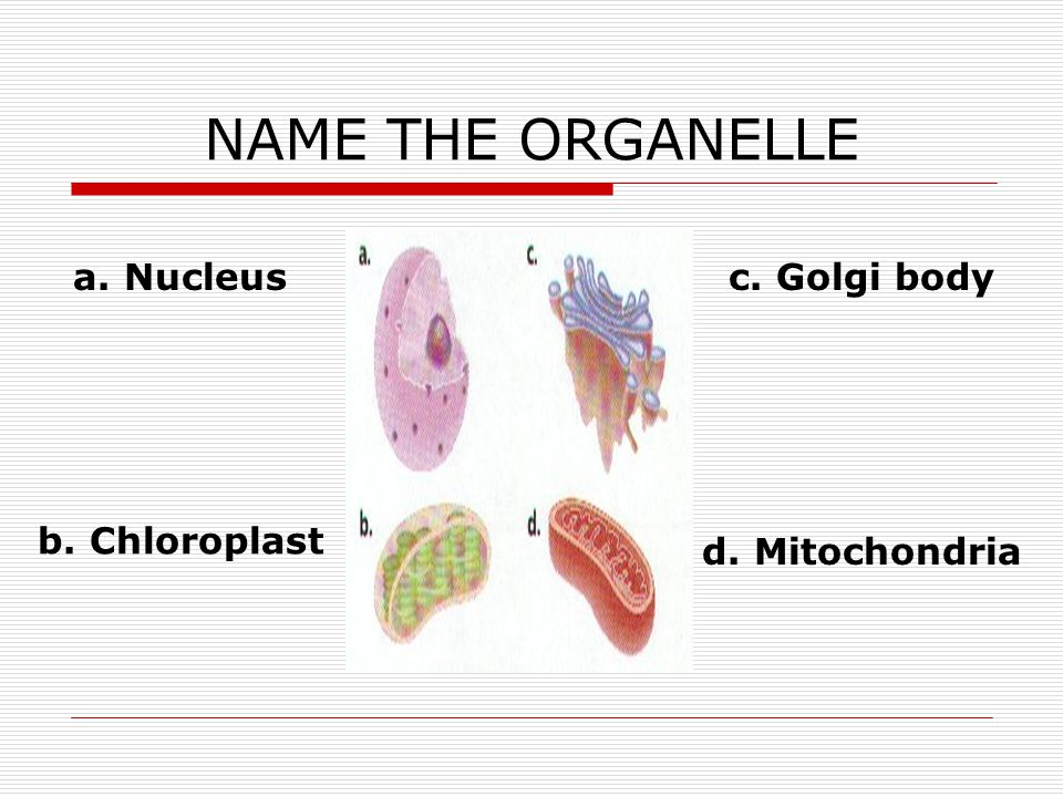 NAME THE ORGANELLE a. Nucleus c. Golgi body b. Chloroplast