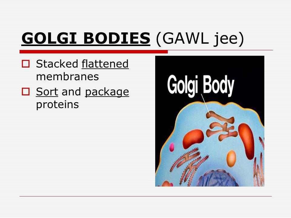 GOLGI BODIES (GAWL jee)