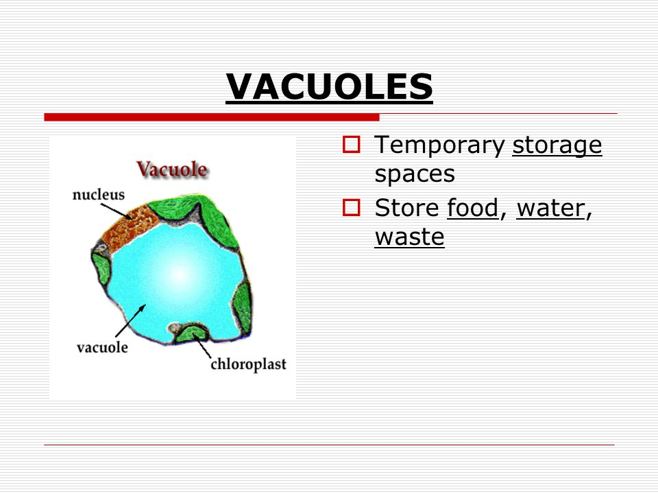 VACUOLES Temporary storage spaces Store food, water, waste