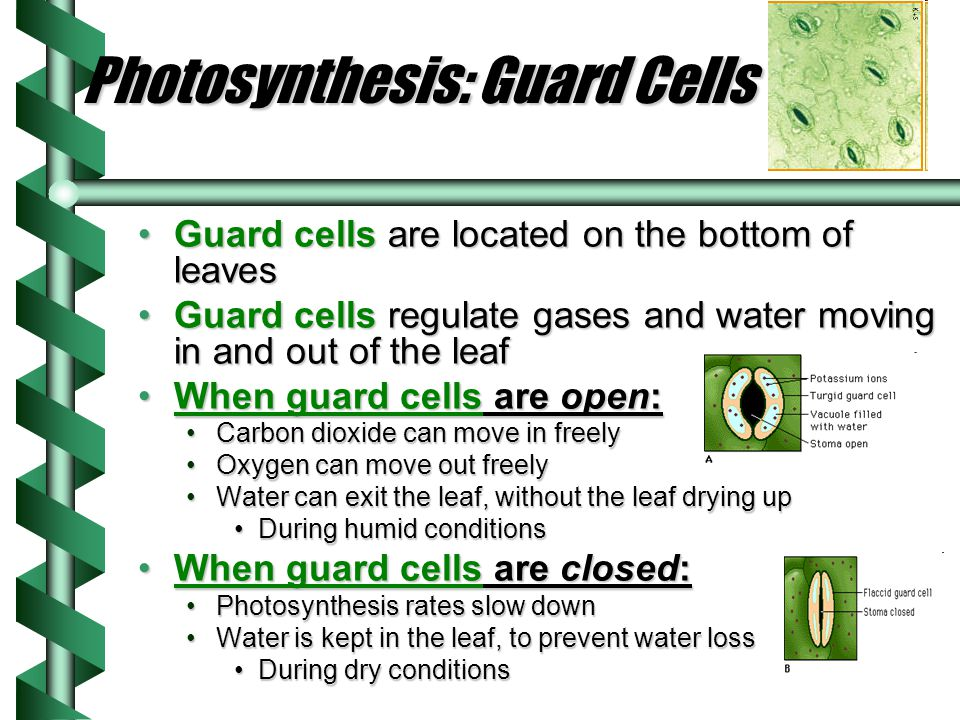 Photosynthesis: Guard Cells