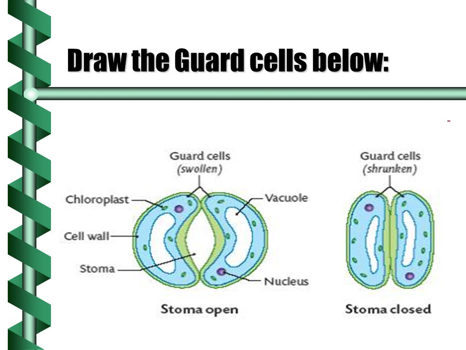 Draw the Guard cells below:
