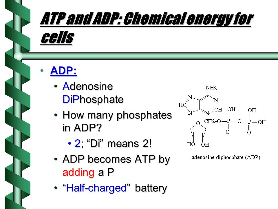 ATP and ADP: Chemical energy for cells
