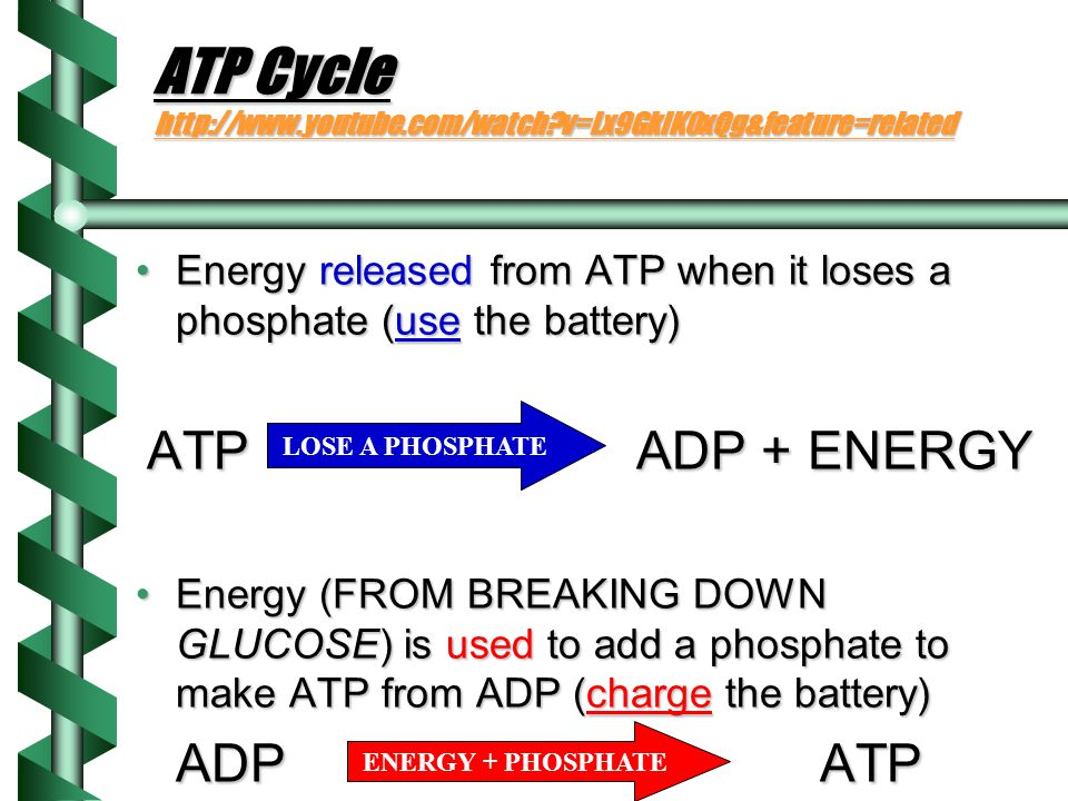 ATP Cycle http://www.youtube.com/watch v=Lx9GklK0xQg&feature=related
