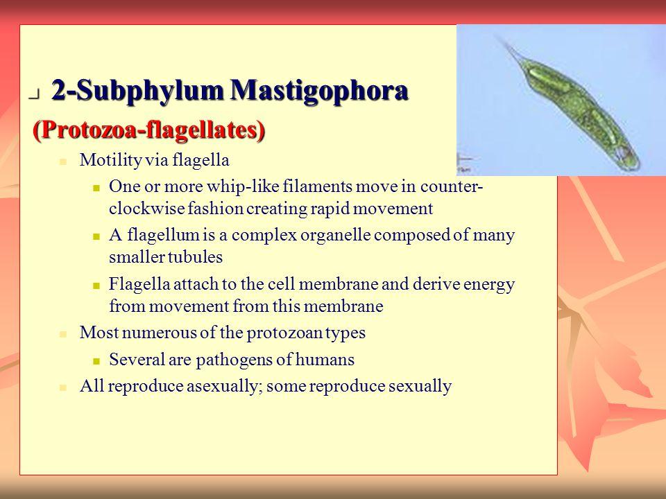 2-Subphylum Mastigophora