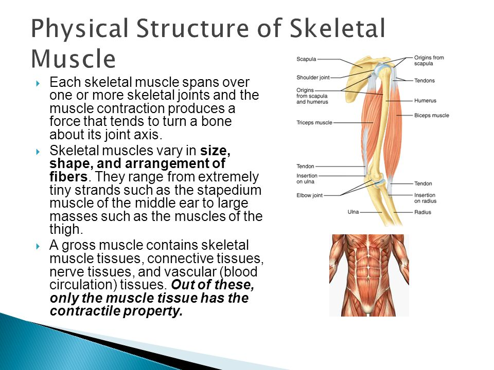 Physical Structure of Skeletal Muscle