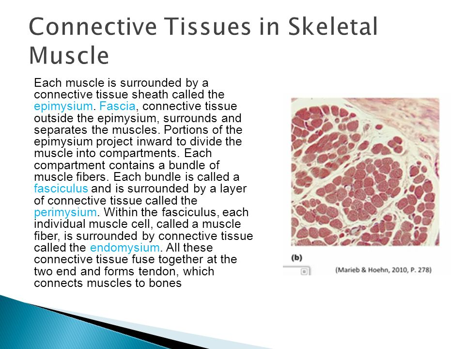 Connective Tissues in Skeletal Muscle