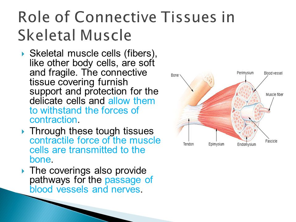 Role of Connective Tissues in Skeletal Muscle