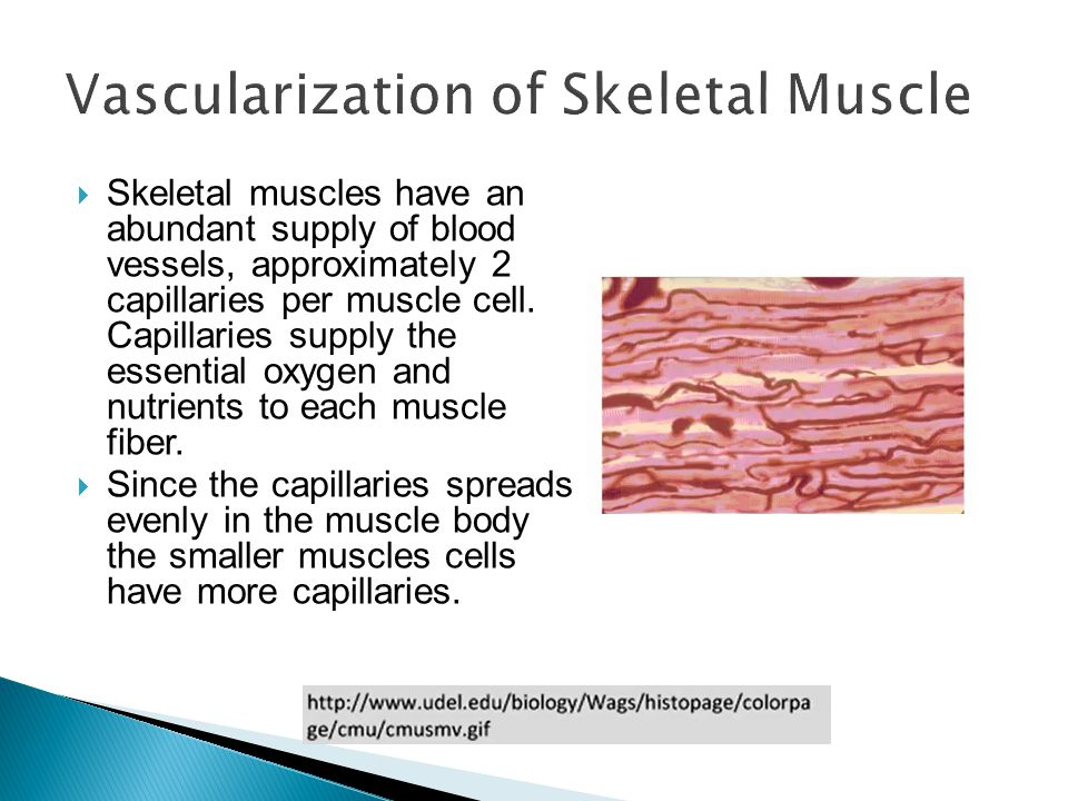 Vascularization of Skeletal Muscle