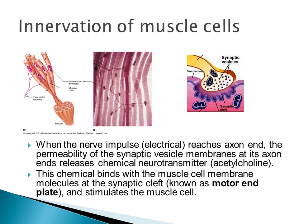 Innervation of muscle cells
