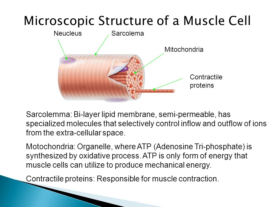 Microscopic Structure of a Muscle Cell