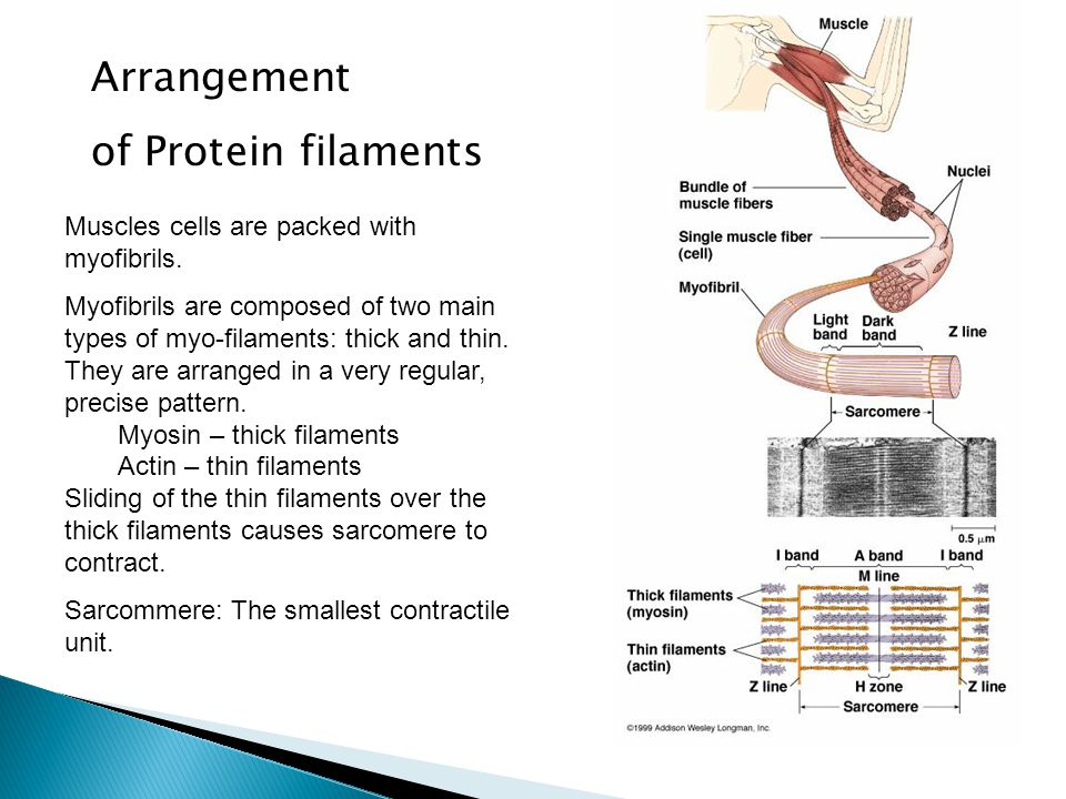 Arrangement of Protein filaments