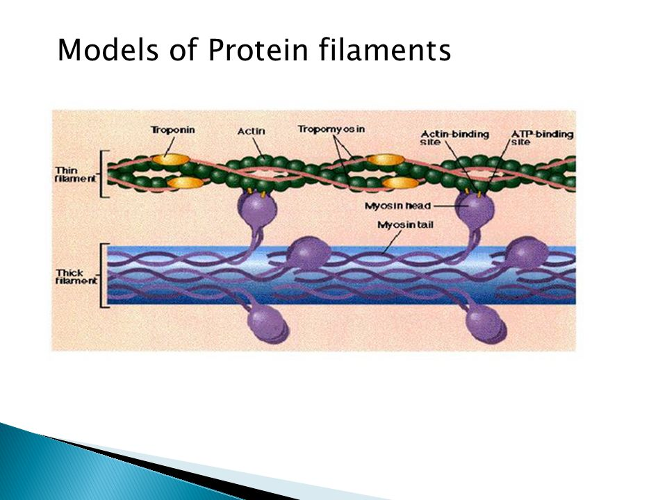 Models of Protein filaments