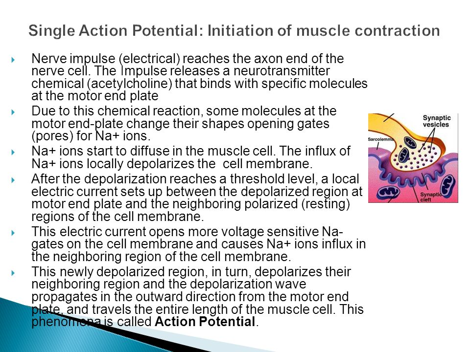 Single Action Potential: Initiation of muscle contraction