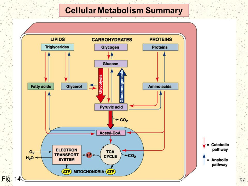 Cellular Metabolism Summary