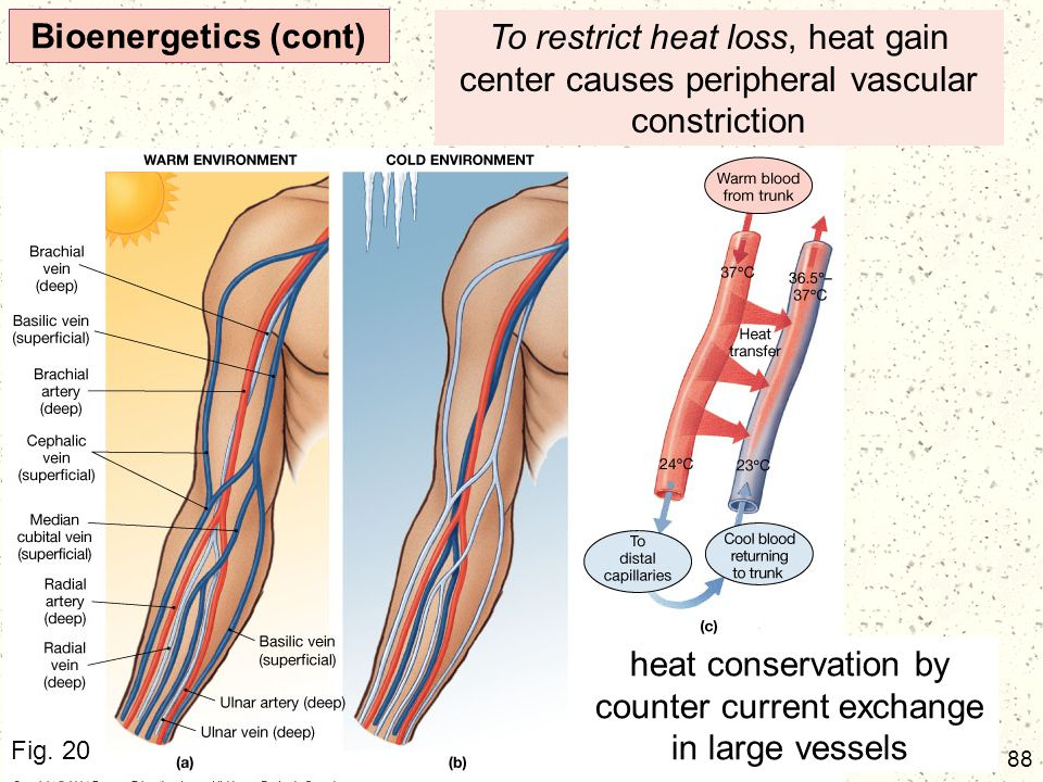 heat conservation by counter current exchange in large vessels