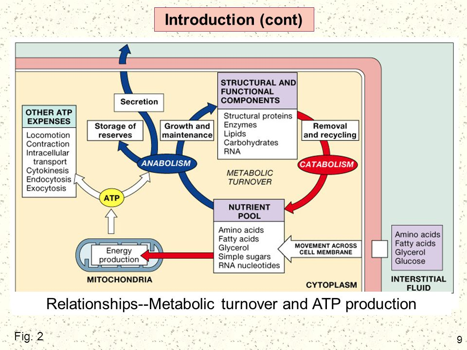 Relationships--Metabolic turnover and ATP production