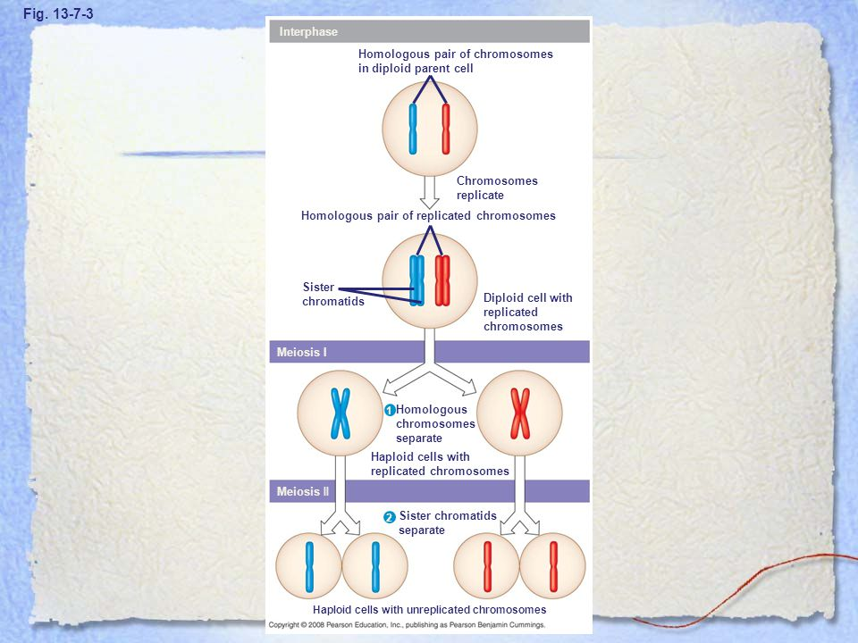 Figure 13.7 Overview of meiosis: how meiosis reduces chromosome number