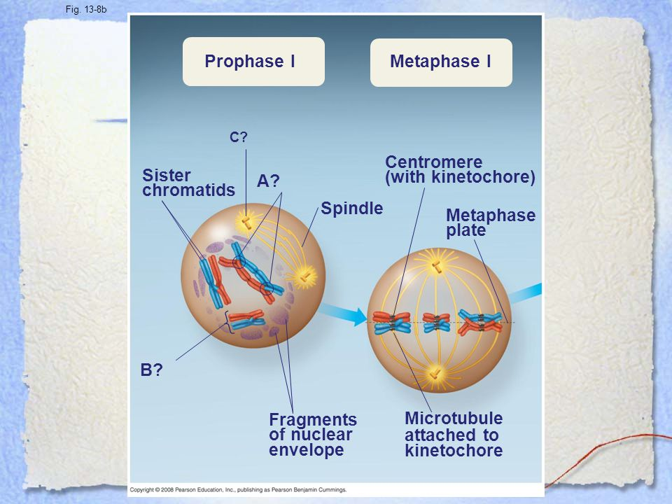 Prophase I Metaphase I Centromere (with kinetochore) Sister chromatids