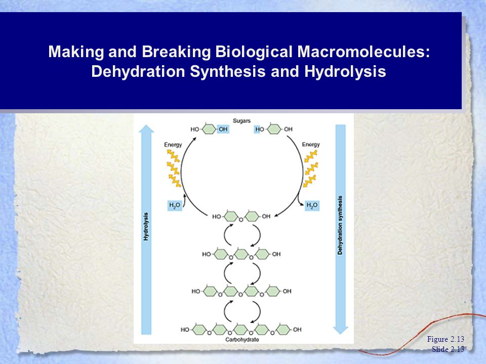 Making and Breaking Biological Macromolecules: Dehydration Synthesis and Hydrolysis