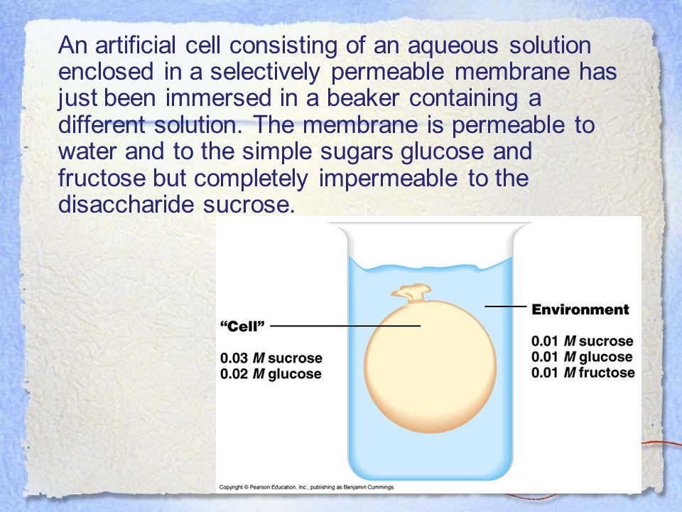 An artificial cell consisting of an aqueous solution enclosed in a selectively permeable membrane has just been immersed in a beaker containing a different solution. The membrane is permeable to water and to the simple sugars glucose and fructose but completely impermeable to the disaccharide sucrose.