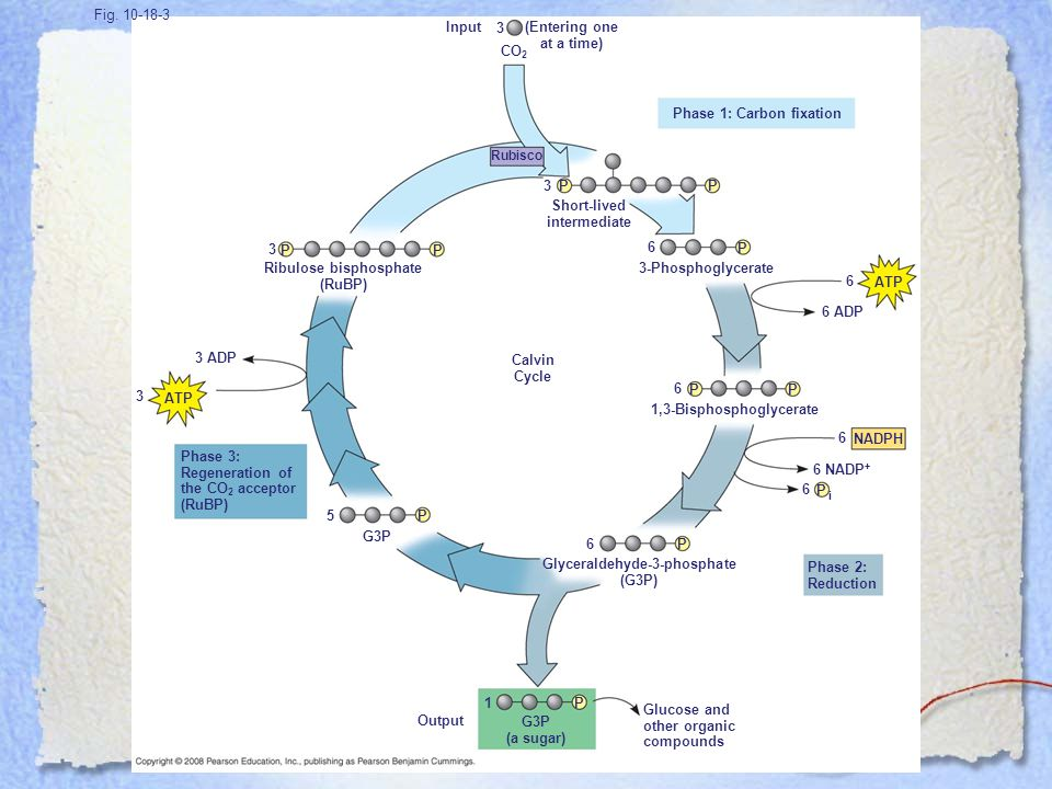 Figure 10.18 The Calvin cycle