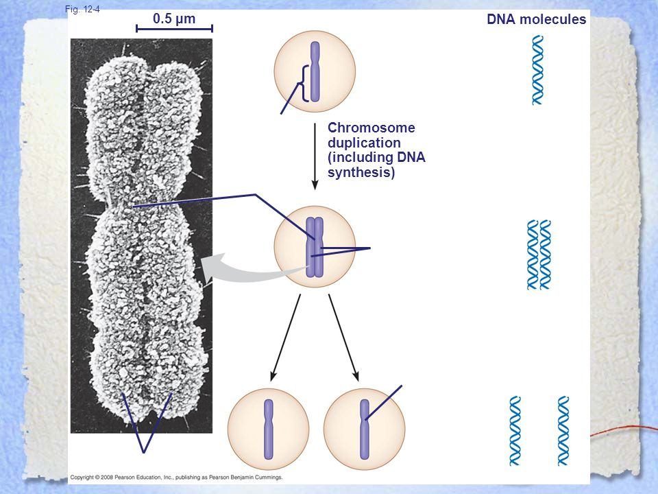 0.5 µm DNA molecules Chromosome duplication (including DNA synthesis)