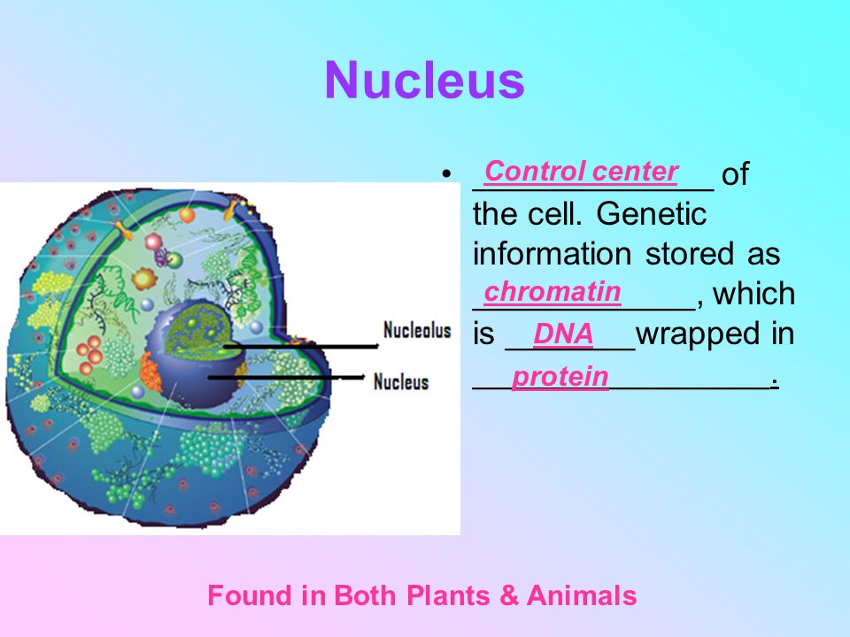 Nucleus _____________ of the cell. Genetic information stored as ____________, which is _______wrapped in ________________.