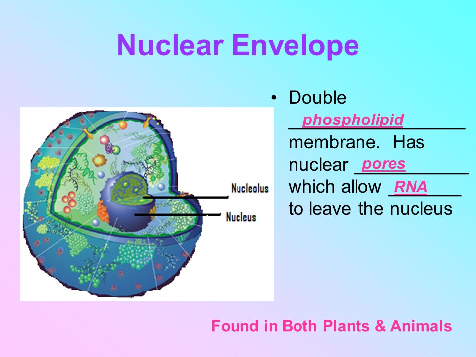 Nuclear Envelope Double _________________ membrane. Has nuclear ___________ which allow _______ to leave the nucleus.