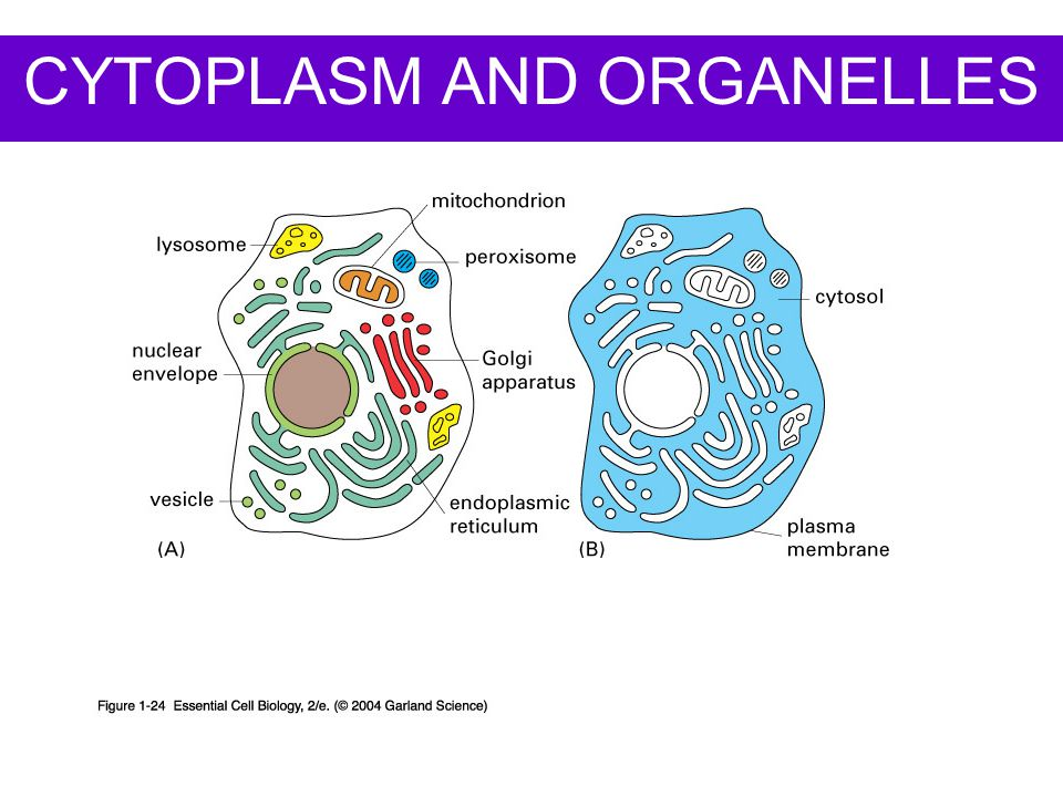 CYTOPLASM AND ORGANELLES