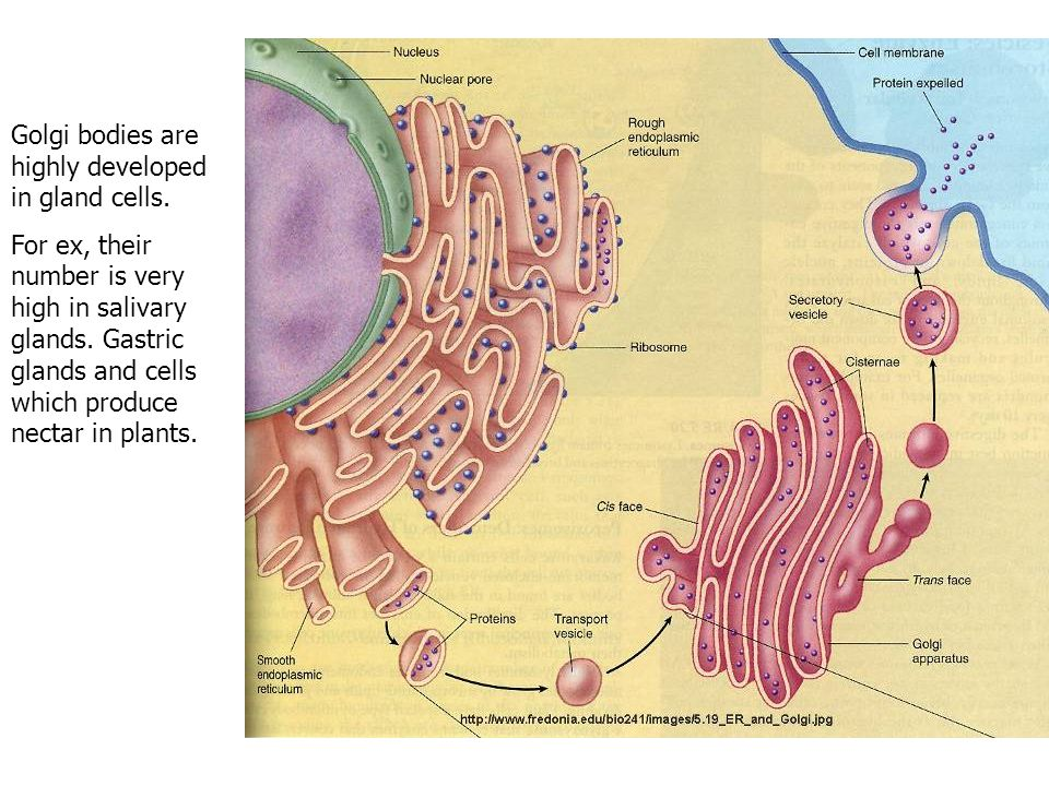 Golgi bodies are highly developed in gland cells.