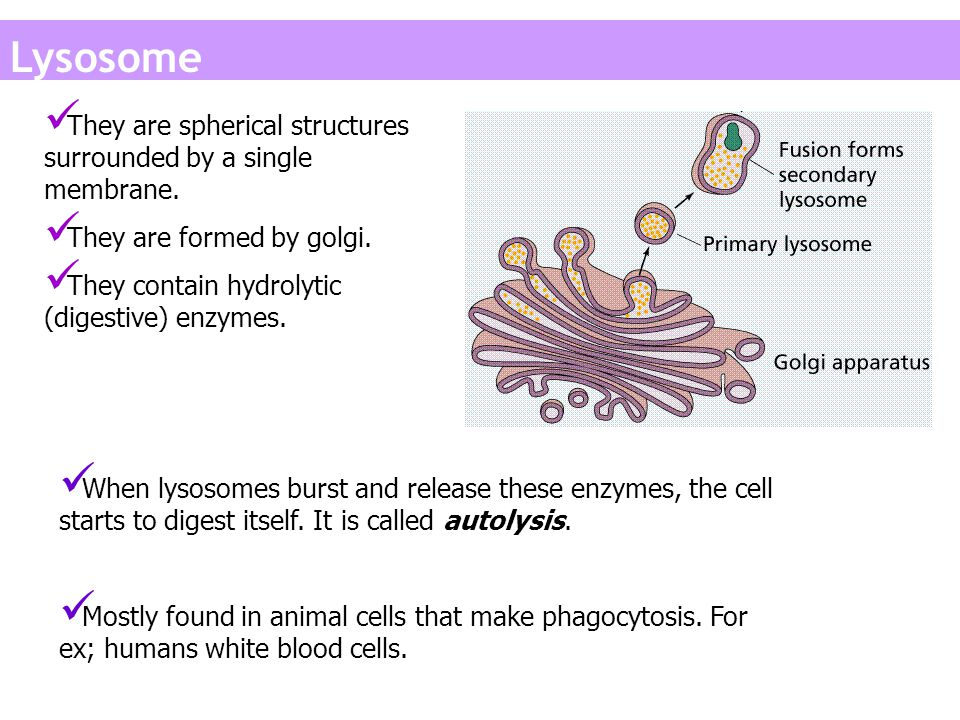 Lysosome They are spherical structures surrounded by a single membrane. They are formed by golgi. They contain hydrolytic (digestive) enzymes.