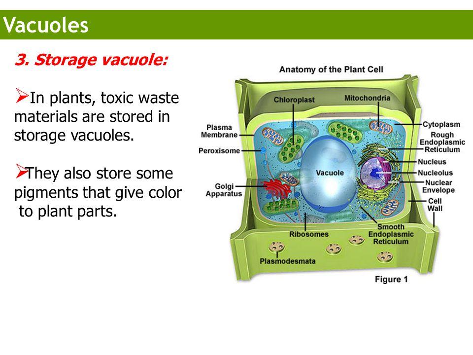 Vacuoles 3. Storage vacuole: