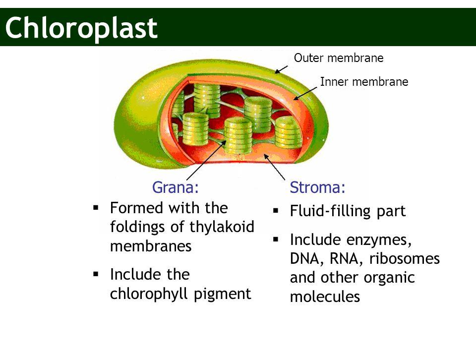 Chloroplast Grana: Stroma: