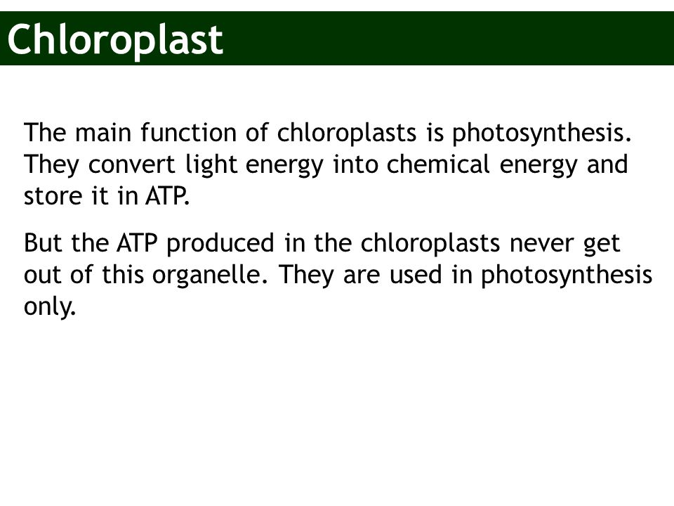 Chloroplast The main function of chloroplasts is photosynthesis. They convert light energy into chemical energy and store it in ATP.