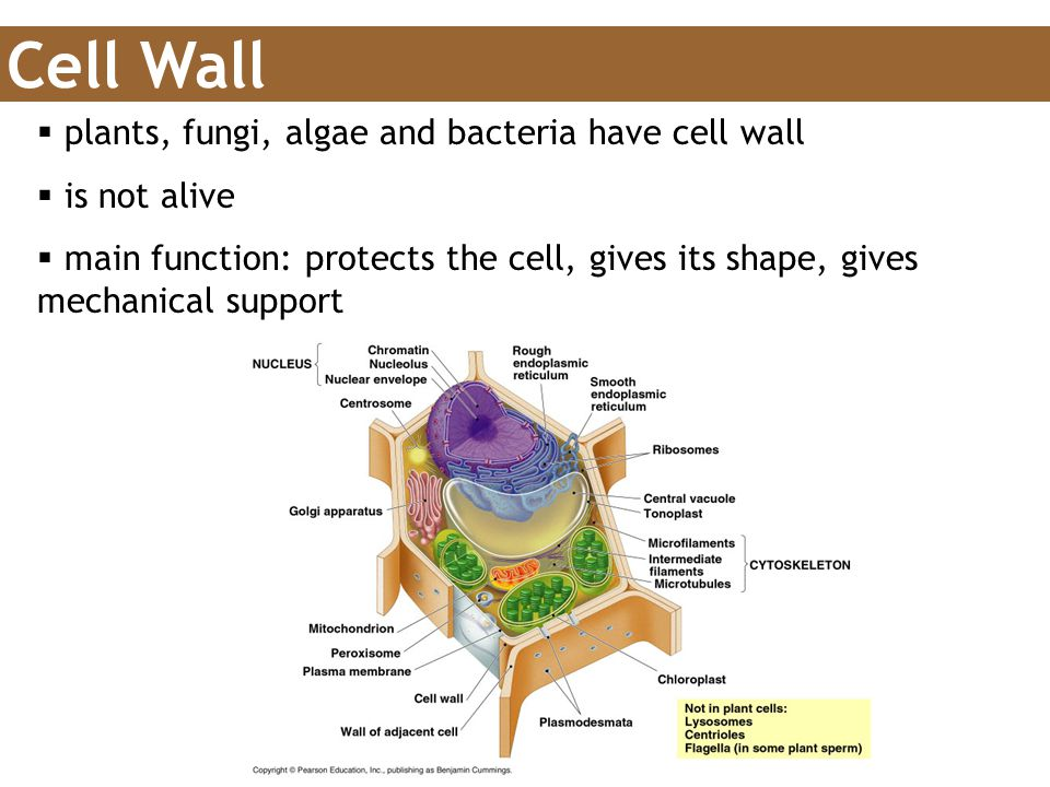 Cell Wall plants, fungi, algae and bacteria have cell wall