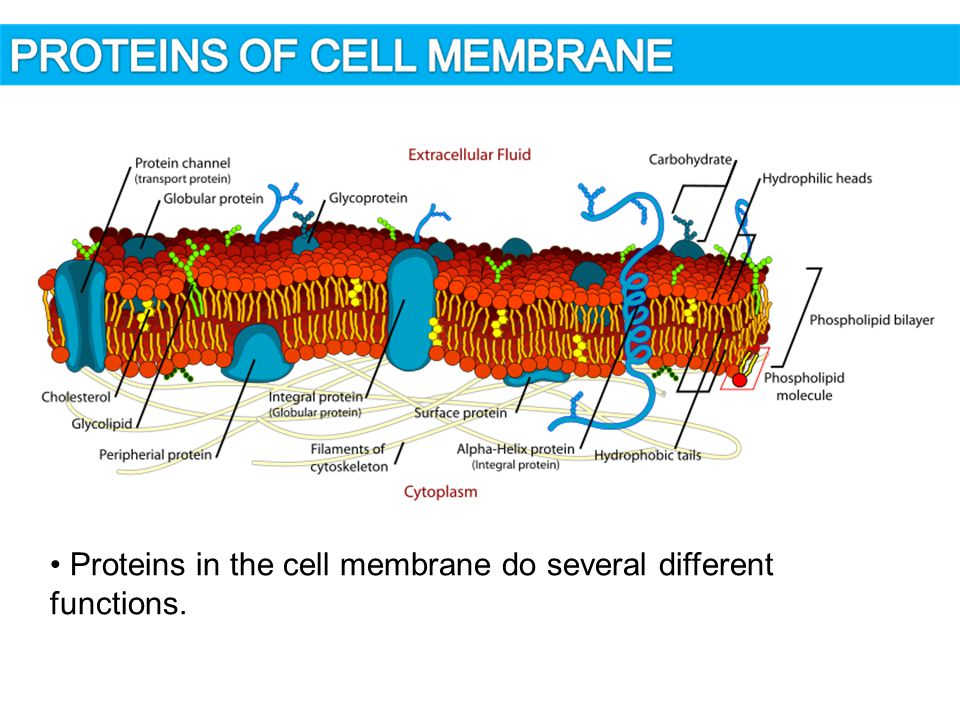 Proteins in the cell membrane do several different functions.
