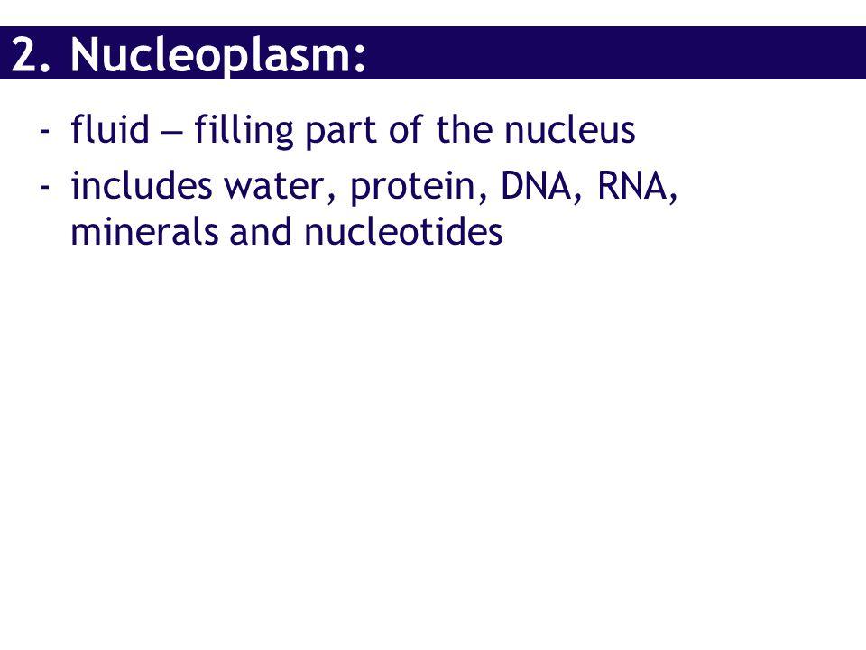 2. Nucleoplasm: fluid – filling part of the nucleus