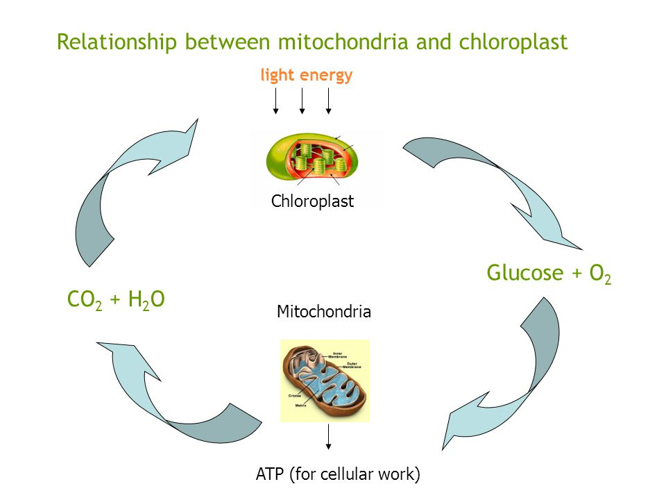 Relationship between mitochondria and chloroplast