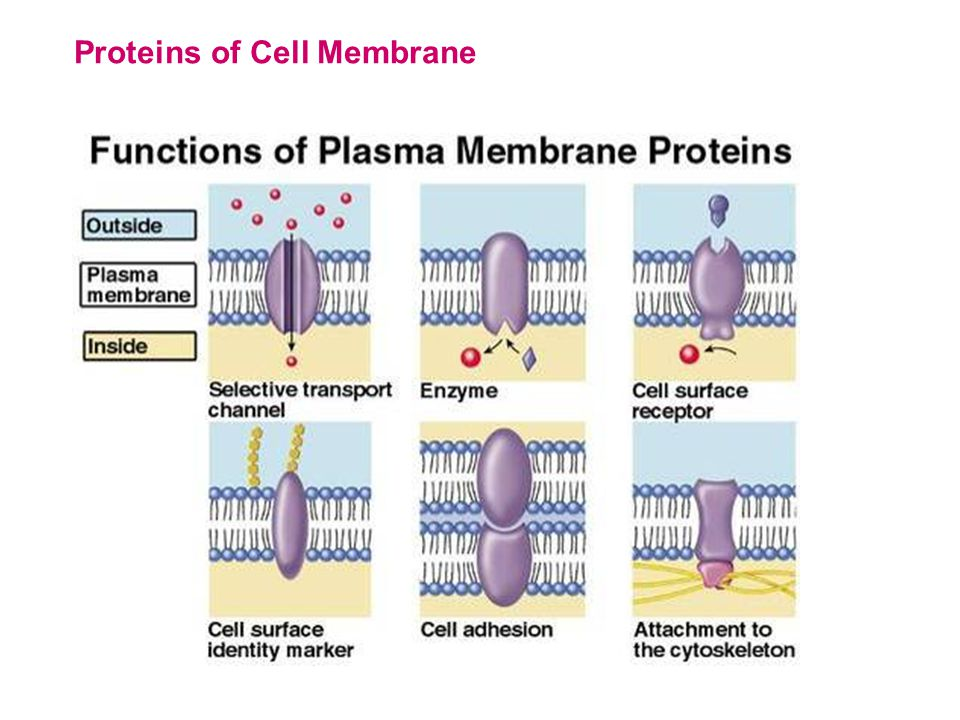 Proteins of Cell Membrane