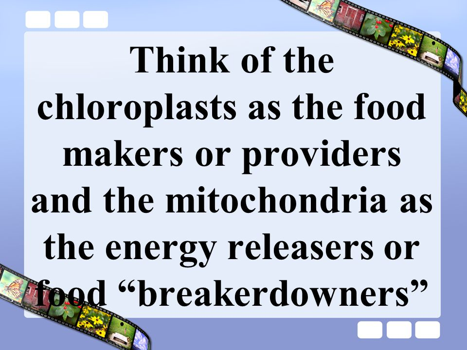 Think of the chloroplasts as the food makers or providers and the mitochondria as the energy releasers or food breakerdowners