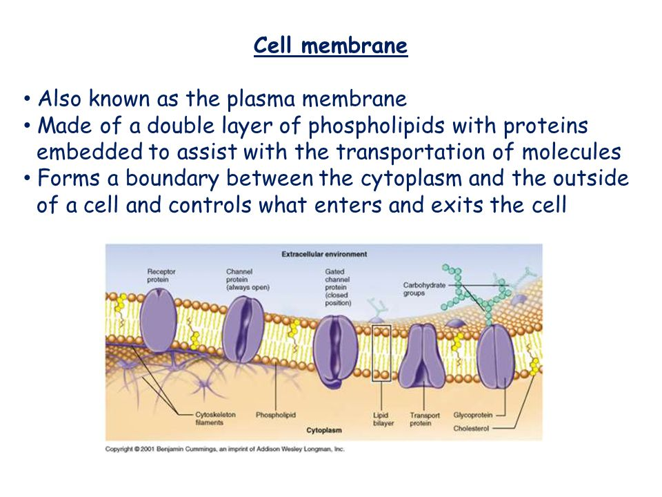Cell membrane Also known as the plasma membrane. Made of a double layer of phospholipids with proteins.