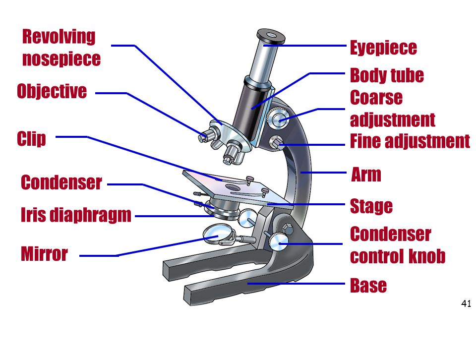 Revolving nosepiece Eyepiece. Body tube. Objective. Coarse adjustment. Clip. Fine adjustment. Arm.