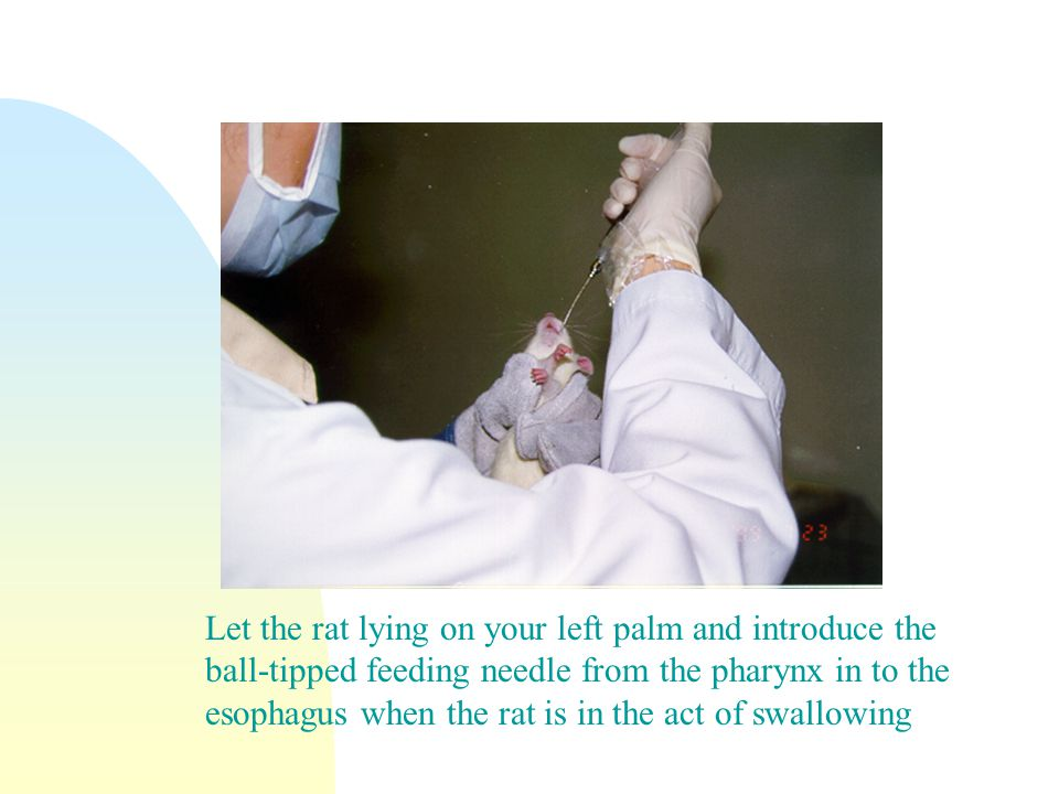 Let the rat lying on your left palm and introduce the ball-tipped feeding needle from the pharynx in to the esophagus when the rat is in the act of swallowing