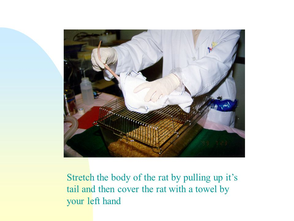 Stretch the body of the rat by pulling up it's tail and then cover the rat with a towel by your left hand
