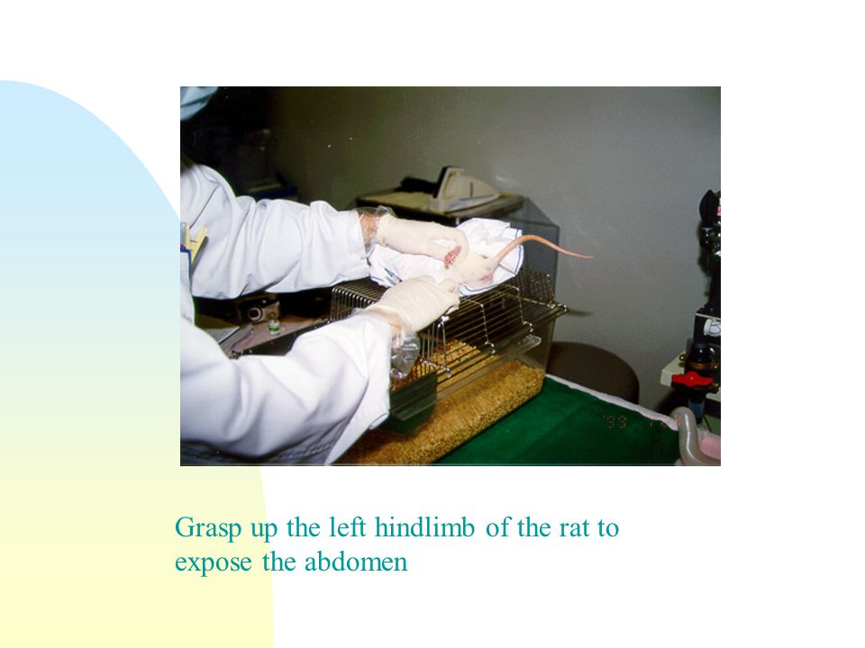 Grasp up the left hindlimb of the rat to expose the abdomen