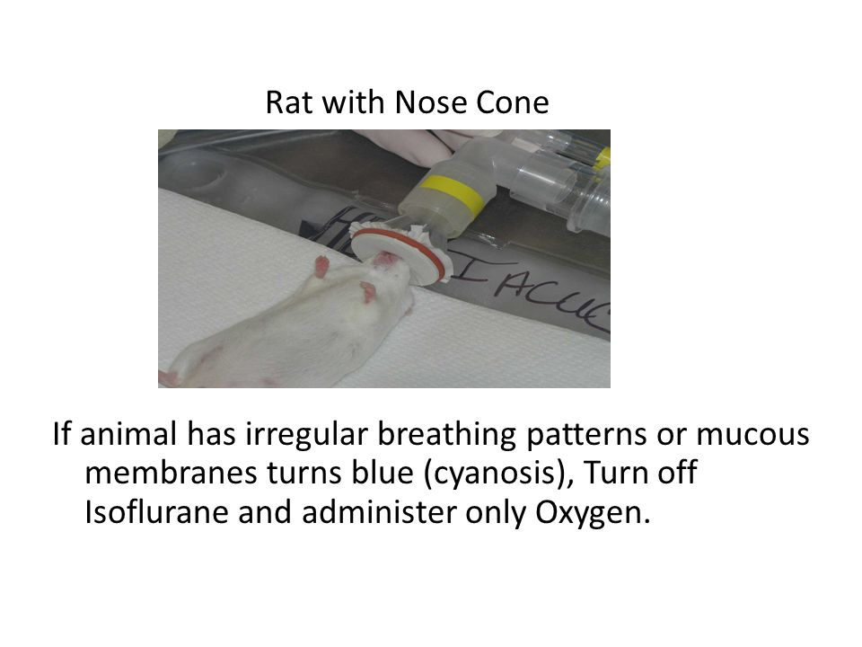 Rat with Nose Cone If animal has irregular breathing patterns or mucous membranes turns blue (cyanosis), Turn off Isoflurane and administer only Oxygen.