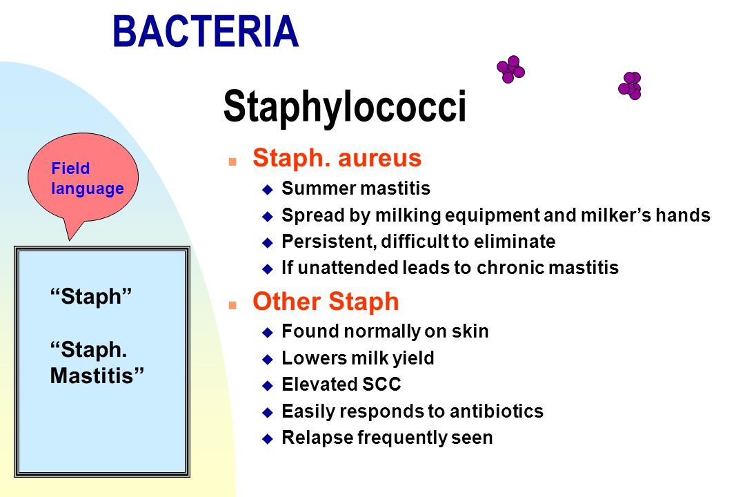 BACTERIA Staphylococci